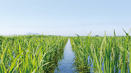 お米の生産・おいしさ日本一クラス!北海道米の秘密を公開します!
